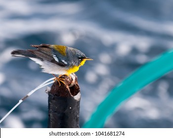 Northern Parula on fishing boat ten miles of the coast.