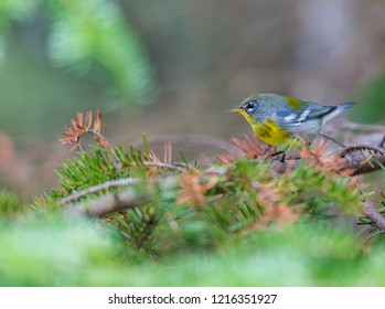 Northern Parula perched in an evergreen tree in a Boreal forest Quebec, Canada.