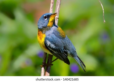 Northern Parula Warbler Perched On Branch