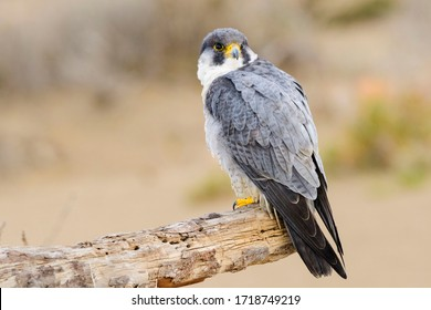 A northern peregrine falcon (Falco peregrinus calidus) in a dead tree trunk in the Ebro Delta Natural Park, in Catalonia.
