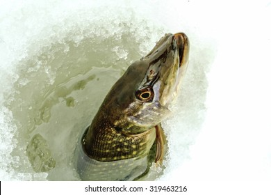 Northern Pike being pulled through the hole while ice fishing