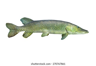 The Northern Pike (Esox Lucius) isolated on white background.