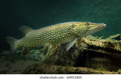 The Northern Pike - Esox Lucius. Underwater photo of predatory fish from freshwater lake. Animals and wildlife theme.
