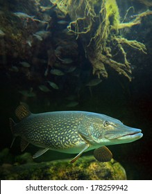 The Northern Pike - Esox Lucius. Underwater photo of giant fish from freshwater lake. Animals and wildlife theme.