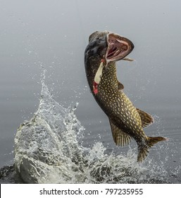Northern pike fish jumps over water