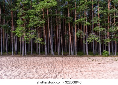 Northern pines forest on the sandy coast