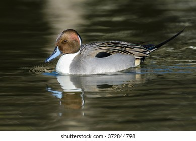 Northern Pintail bird (Anas acuta) on Pond in japan