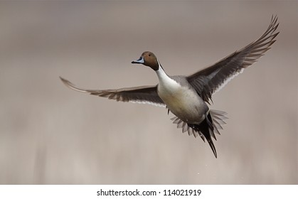 Northern Pintail Drake in flight against a natural background; duck hunting / wingshooting; Klamath Falls Wildlife Refuge, on the California / Oregon border
