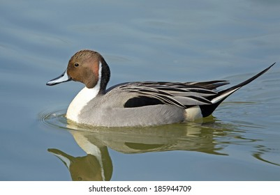 A northern pintail drake in full breeding plumage swims leisurely through quiet water.