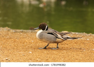 Northern pintail duck waddling by lake