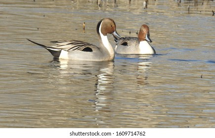 Northern pintail ducks swimming around in the wetland, waters of the Colusa National Wildlife Refuge, in the Sacramento Valley, in north-central California.