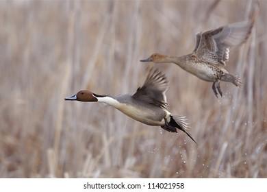 Northern Pintail pair in flight over wetland habitat; duck hunting / wingshooting; Klamath Falls Wildlife Refuge, on the California / Oregon border
