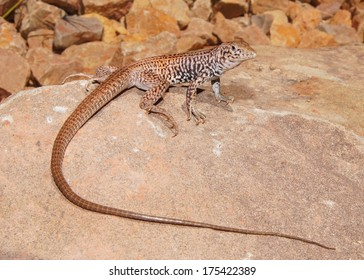 Northern (Plateau or Painted Desert) Whiptail Lizard, Aspidoscelis (Cnemidophorus) tigris septentrionalis - one of North America's fastest lizards