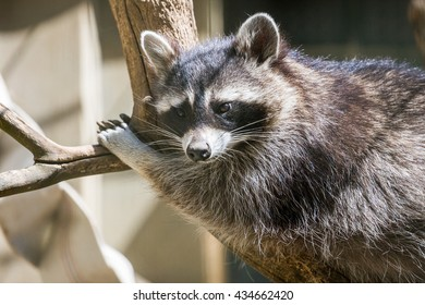Northern raccoon resting in cell (Procyon lotor)