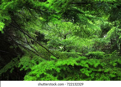 Northern Rain forests