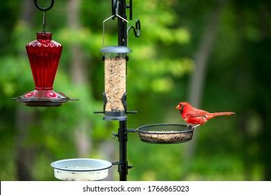 Northern red cardinal at a bird feeder