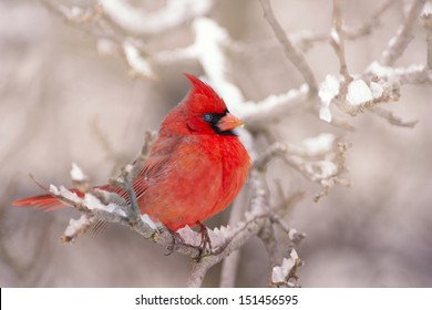 Northern Red Cardinal in the Winter