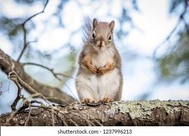 Northern red squirell in old pine