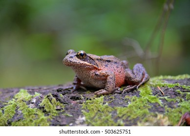 Northern Red-legged Frog (Rana aurora), Vancouver Island, BC, Canada