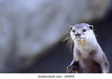 Northern River Otter (Lutra canadensis) at Santa Barbara Zoo, California