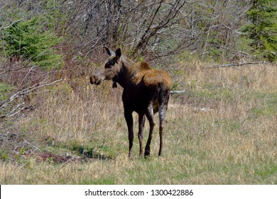 Northern Rocky Mountains Provincial Park, Alaska Highway 97 , British Columbia, Canada.May 11th 2016   A young Cow Moose (alces alces), taken at an altitude of Seven hundred and forty six metres.