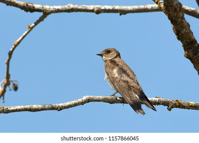 A northern rough winged swallow perched on a small branch by Fernan Lake in North idaho.