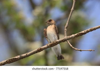 Northern rough-winged swallow overlooks the woodlands in search of insects, background consists of shallow focus sky blues, leafy greens and tree browns