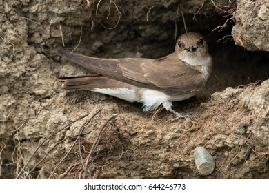 Northern Rough-winged Swallow standing at the opening of it's nest cavity.