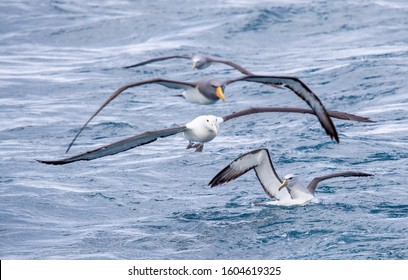 Northern Royal Albatross (Diomedea sanfordi) flying above a Salvin's Albatross (Thalassarche salvini). Chatham (2nd bird above) and another Salvin's Albatross in the back. At sea, Chatham Islands,