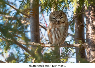 A Northern Saw-whet Owl is perched on a branch of a cedar tree.