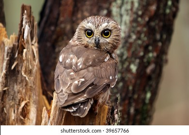 Northern Saw-Whet Owl perching on a tree stump.