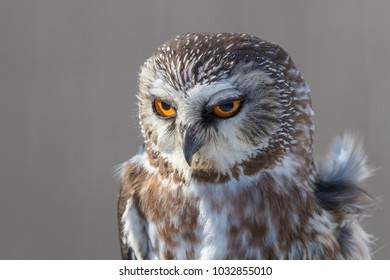The northern saw-whet owl portrait