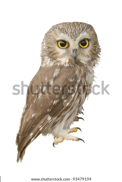 Northern Saw-whet owl. Very close up, shallow depth of field. Latin name - Aegolius acadicus.