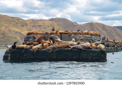 Northern sea lion Steller On a bricquator on Sakhalin Island in the city of Nevelsk. eared seal Steller's Rookery.