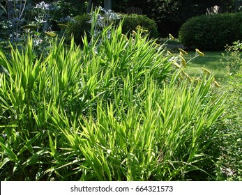 Northern Sea Oats - Chasmanthium latifolium, ornamental grass