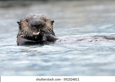 northern sea otter eating prey