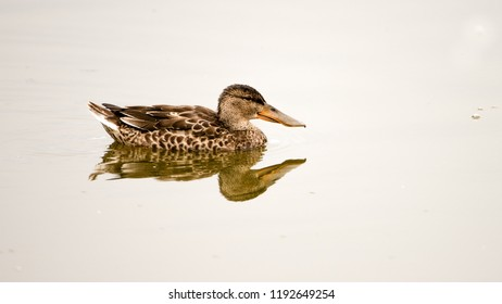Northern Shoveler (Anas clypeata), juvenile. A medium large duck with short neck but strikingly long and broad bill. Swims here in the open water in the marsh at Hjalstaviken, Uppland, Sweden.