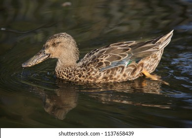 Northern shoveler (Anas clypeata), also known as the northern shoveller.