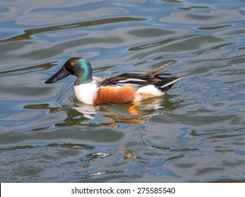 Northern shoveler (Anas clypeata) male duck  in Japan