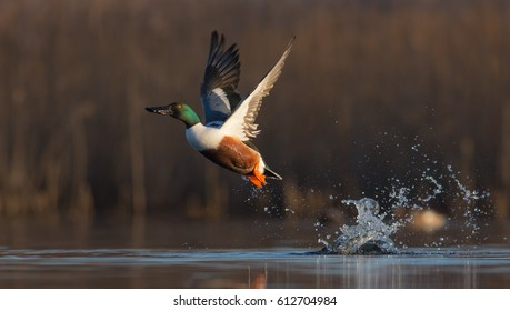 Northern shoveler - Anas clypeata - male at a small lake in spring, Vilnius County, Lithuania