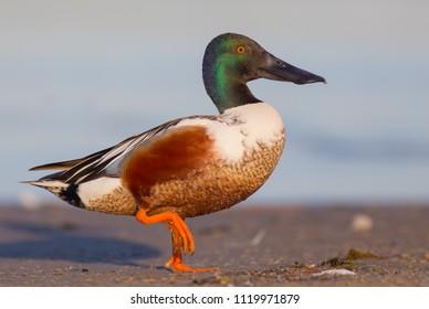 Northern Shoveler - Anas clypeata / Spatula clypeata - male