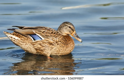 Northern shoveler or Anas clypeata in a waterlogged area in Bahrain