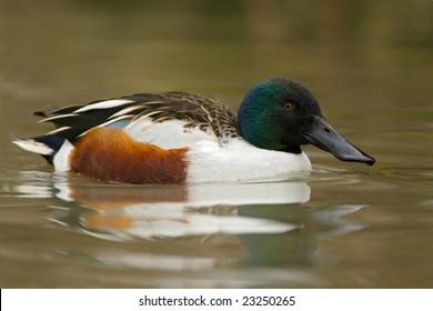 Northern Shoveler duck (Anas clypeata) swimming