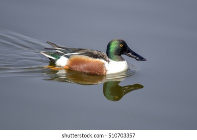 Northern Shoveler duck,male