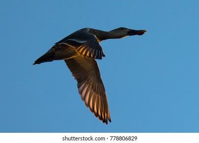Northern Shoveler, flying in beautiful light
