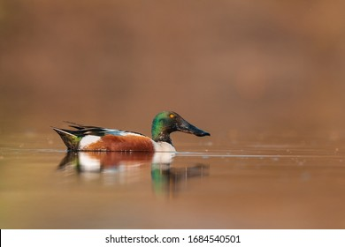 The northern shoveler known simply in Britain as the shoveler is a common and widespread duck It breeds in northern areas of Europe and across the Palearctic and across most of North America