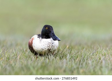 Northern shoveler in its  natural environment in Marken (Holland)