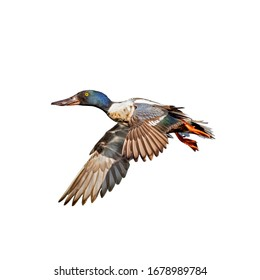 Northern shoveler (Spatula clypeata) isolate on a white background. duck in flight isolate on a white background.