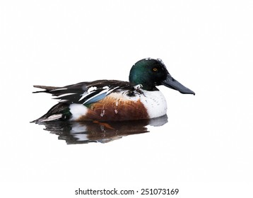 Northern Shoveler in Winter on White Background, Isolated