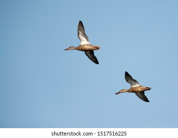 Northern Shovelers flying at Buhair lake, Bahrain